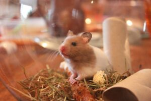 Hamster Health Issues Everyday Care    Medical Issues