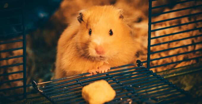 Daily care and related diseases The myths and truths about hamster