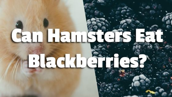 Can Hamsters Eat Blackberries?